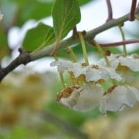 キウイ マタタビ科 ビタミンCと食物繊維が豊富なキウイフルーツ、収穫は11月です。今日の野鳥:カワセミ