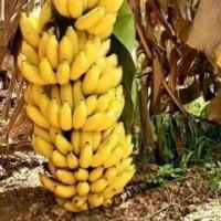本当のバナナ!
