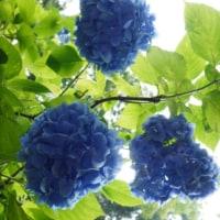 明月院の玉紫陽花はブルーが素敵!