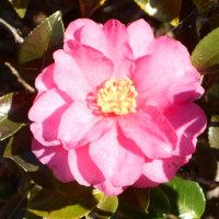 山茶花と椿そして柘榴