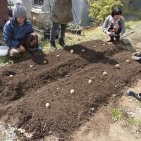 3/12のはたけ部!収穫とじゃがいもの植え付け。