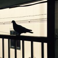すっかり鳩。