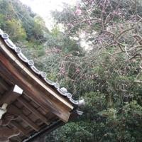 京の梅花情報2017  大豊神社 枝垂れ梅