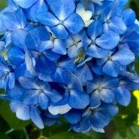 断片・紫陽花と