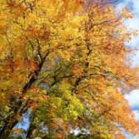 キャンパス内の紅葉の櫂の木 麗澤大学 柏