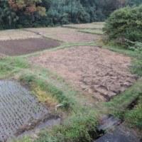 緑肥の播種