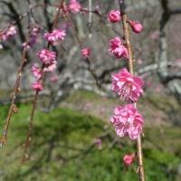 早春の柑橘(甘夏)