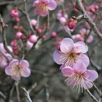 梅林公園の早咲き梅