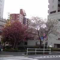 南青山の八重桜  2017