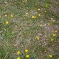 タンポポ君曰く、花ニラたちはガキ、ボクたちは大人・・・