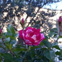冬支度に入ったバラたち:殺風景なバラ庭に