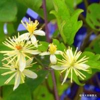 沖縄県の野に咲く花 ☆☆リュウキュウボタンヅルの花