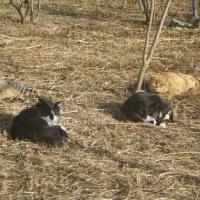 ブルーベリーとキウイ剪定始める、猫軍団が増えるのか