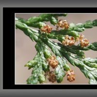 コノデガシワ(児の手柏)の花