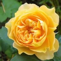 薔薇の愉しみ