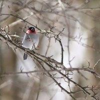 ウソ, Eurasian Bullfinch