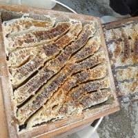 日本みつばちの採蜜。蜂蜜を一段もらいました/東京都議選告示 市民感覚の風を議会へ