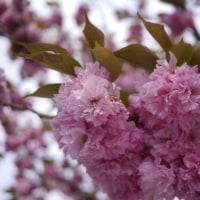 桜餅のような。
