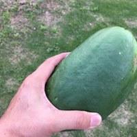 パパイヤを収穫してみる。