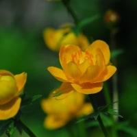レブンキンバイが咲きました