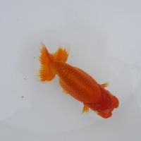 錦蘭会第98回秋季品評大会 当歳魚 小の部 優等魚