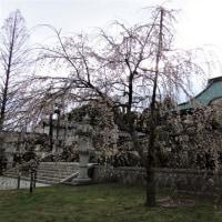 大聖寺紅枝垂れ桜