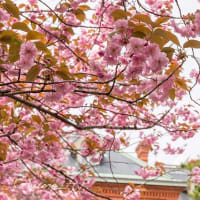 道庁赤れんが前庭一番の季節〜八重桜