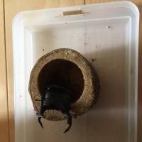 昆虫飼育観察記録 オオクワガタ(親)