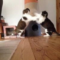 はっけよーい、猫パンチ!