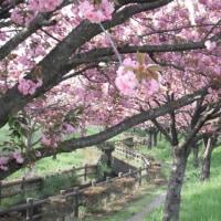 ネーブルパークの八重桜