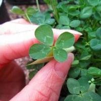 種まきから109日目の「きっと見つかる四つ葉のクローバー」