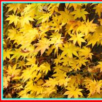 紅葉ならぬ黄葉