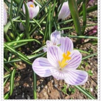 春の庭とビオラ