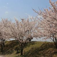 青空と桜*