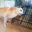柴犬ジェナ婆さん 16歳