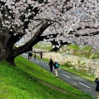 浅川堤の桜 5