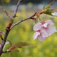 延岡花物語 - このはなウォーク   ~ 1日早く 歩いてきました。