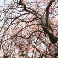 しだれ梅とか…公園で…