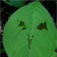 鹿の子草・ササ竹の花。     17・5月28日