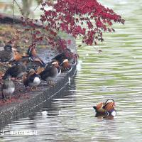 今日の野鳥・・・オシドリ・・・紅葉絡みですが。。