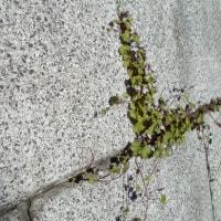 ツタバウンラン:雑草:石垣