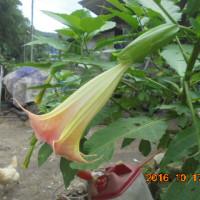 エンゼルトランペット コンな 花