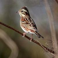 農耕地で出会った鳥達(カワラヒワ他)