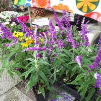 紫太陽などの小さなサボテン、ピンクの大きな花のチランジア、アメジストセージ、アリッサムなどなど