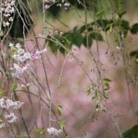 篠窪(しのくぼ)へ太田道灌で有名な山吹を探しに行く。4月はとても綺麗です
