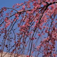 枝垂桜は満開!