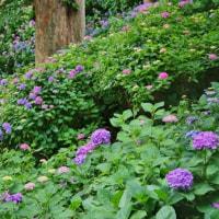 出井の泉公園の紫陽花 その2(2017年6月18日撮影)