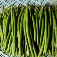 サヤインゲンの収穫