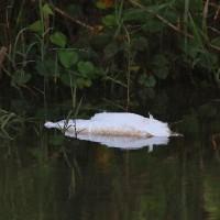 農耕地の池に来ていた  キンクロハジロ