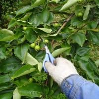 果樹の摘果